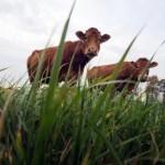 La traçabilité, premier enjeu de la filière viande bovine