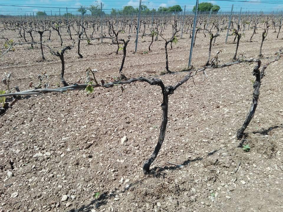 Vignes gelées au nord de l'appellation Cognac