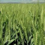 OGM : le projet de BASF fait polémique