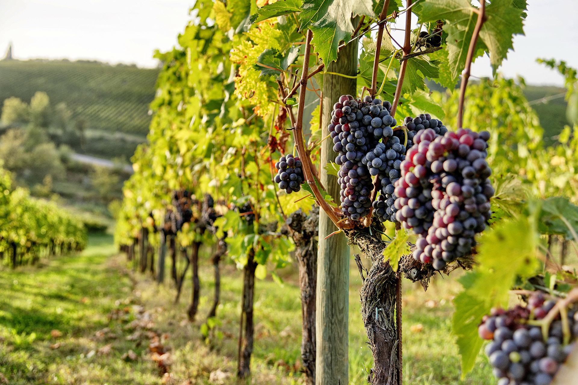 Grappes de raisin chianti italien