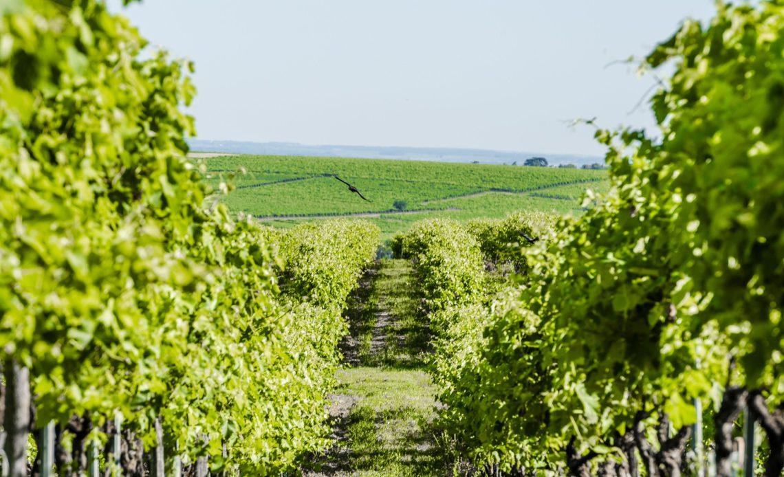 Cognac Frapin - Vignes